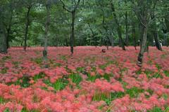 Cluster Amaryllis Festival (kzmiz) Tags: nikond800e kzmiz japan saitama hidaka koma hongo cluster amaryllis red spider lilly kinchakuda festival cpl