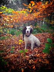 A Canopy of Colour (Missy Jussy) Tags: autumn trees woodland forest leaves seasonal colourful valley piethornevalley rupertbear springerspaniel spaniel