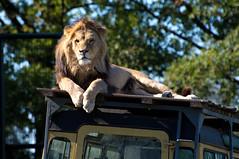 Afrikaanse leeuw - African lion (Den Batter) Tags: nikon d7200 zooparc overloon leeuw lion afrikaanseleeuw pantheraleo