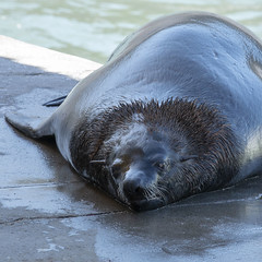 Lazy Seal (Peter Nichol) Tags: seal wildlife marine mammal whiskers cute lazy kalk bay cape town south africa