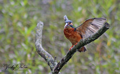 Mr Kingfisher you can stop posing now, I have shot I want :) 2/10/18 (vickyouten) Tags: kingfisher kingfisheronapost nature wildlife canon canon1300d penningtonflash leigh vickyouten