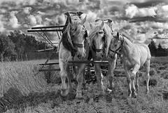 Harvest (11) (JLM62380) Tags: foal poulain houlle moissonneuse nostalgie ancien temps combine moisson harvest horse field cheval champ france workhorse de trait animal ciel bétail blackandwhite monochrome noiretblanc