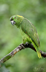 Amazon Parrot (Megan Lorenz) Tags: yellownapedamazonparrot amazonparrot parrot bird avian rainforest nature wildlife wild wildanimals costarica travel mlorenz meganlorenz