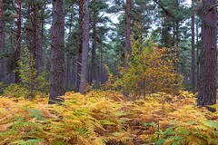 The Beginnings of Autumn (Geoff France) Tags: fern bracken wood forest tree autumncolours castlegrant beat3 landscape scottishlandscape cairngorms cairngormsnationalpark highlands scottishhighlands
