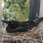 Charlotte Currawong and her chicks thumbnail