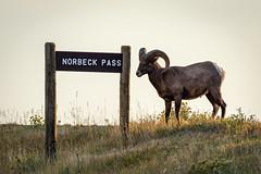 Welcome to Norbeck Pass ((JAndersen)) Tags: badlands badlandsnationalpark norbeckpass bighornsheep animal wildlife nature nikon nikkor20005000mmf56 d810 southdakota