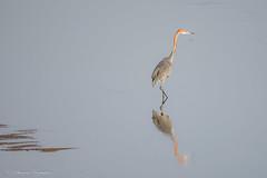 Goliath Heron (sharon.verkuilen) Tags: africa zambia luambe bird goliathheron heron waterbird river safari sonya7rii sony