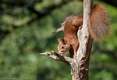 Red Squirrel (volesandfriends) Tags: ekorre redsquirrel sciurusvulgaris änggårdsbergen