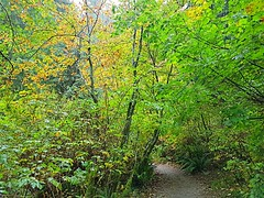 The trail between the trees (walneylad) Tags: princesspark northvancouver britishcolumbia canada park parkland urbanpark woods woodland forest urbanforest rainforest trees logs moss ferns leaves trail october fall autumn afternoon rain clouds color colour brown yellow green view scenery nature