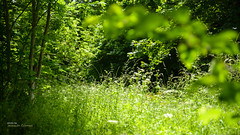 A meadow in the forest (Oddiseis) Tags: meadow forest wood asturias somiedo saliencia spain flora vegetable green light tree grass tamron247028 sunshine sunny