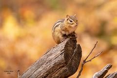 Keeping Watch (jenny_miner) Tags: chipmunk fall autumn log rodent squirrel nature forest michigan ajidamoonh ajidamoo mammal tamiasstriatus midwest wisconsin nikonnaturephotography