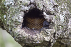 Sleeping Dragon (DFChurch) Tags: sixmilecypressslough yellow rat snake nature animal wild tree scales