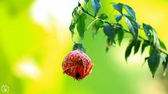 flores e seus contrastes (SGORLON.PHOTOGRAPH) Tags: flores flor flower flowers natural natureza nature naturaleza fotografia fotógrafo photograph photo canon canont5