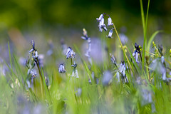 _DSC0978 (gael.lebrun56) Tags: fleur colza rape beez flower macro insect