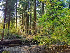 The forest in fall (walneylad) Tags: hunterpark northvancouver britishcolumbia canada lynnvalley park parkland urbanpark woods woodland rainforest forest urbanforest trail trees branches leaves log stump ferns creek water rocks colour color yellow green brown sun shade light dark bluesky october fall autumn afternoon nature view scenery