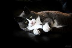 Nounou (Mariie76) Tags: mignon yeux gros fun jeu drôle gouttière européen chartreux chat