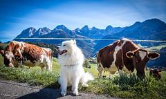 Blizzard aprrécie la balade (Kilian Savage) Tags: suisse gruyère enhaut chateaudoex montagne landscapes mountain paysages nature sauvage motherwood wild randonnée hiking dog chien animal samoyede samoye vache cow
