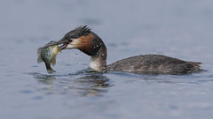 Svasso maggiore (Ricky_71) Tags: great crested grebe lake spring fish nikon
