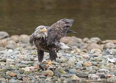 Bald Eagle (sub-adult) (tickspics ) Tags: birds sspwashingtoniensis nekiteriver baldeagle britishcolumbia eagles canada accipitridae greatbearrainforest haliaeetusleucocephalus
