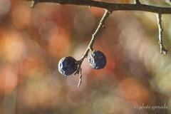 Last Autumn Fruits - Trioplan (gporada) Tags: trioplan olympusem10markii macro bokeh autumn trioplan2950mmmeyeroptikgörlitz oldlens lensadaption