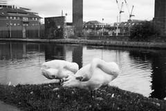 Contortionist Swans (steve voidstar) Tags: mono blankandwhite film ricoh leeds yorkshire rangefinder swans wildlife birds