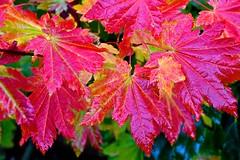 Vine maple in my backyard (Aurora Santiago Photography) Tags: vinemaple fall