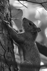 Squirrel (42jph) Tags: nikon d7200 uk england holywell dene northumberland wildlife nature animal grey squirrel mono black white bw rodent