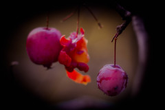 A Gift for the Birds (ursulamller900) Tags: crabapple wildapfel red rot mygarden helios442