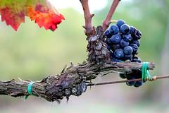 elementi (♥iana♥) Tags: vino uva grape vendemmia autunno autumn fall rosso red vite vigna grapevine montemarano avellino campania italia