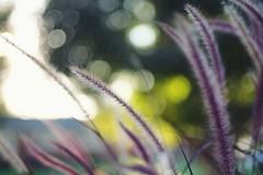 purple fountain grass (javan123) Tags: grass purple bokeh green sun plume fujifilm dof flare