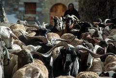 Sous le soleil d'Aragon (Espagne) (PierreG_09) Tags: espagne españa spain aragon montagne gistain village troupeau mouton brebis chèvre chistau