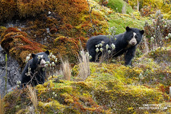 Spectacled Bear cubs (www.NeotropicPhotoTours.com) Tags: spectacledbear juancarlosvindas neotropicphototours tremarctosornatus jewelsofecuador wildlilfe mammals feeding cayambecoca ecuador photographytour animalbehavior