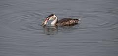great-crested grebe 171j_35 (Baffledmostly) Tags: birds draycotewater feeding greatcrestedgrebe