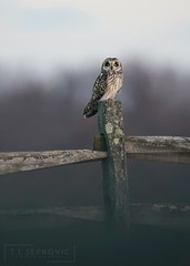Shorty (T L Sepkovic) Tags: shortearedowl owl shorty seo conservepa wildlife wildlifephotography bluehour lowlight lowlightphotography canon teamcanon 5dmkiv raptor birdsofprey