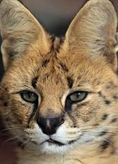 serval Blijdorp 094A0528 (j.a.kok) Tags: animal mammal zoogdier dier kat cat blijdorp blijdorpzoo serval servalcat leptailurusserval africa afrika