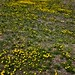 Yellow Wildflowers (Minuteman Missile National Historic Site)