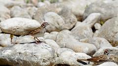 Lark sparrows on the rocks (justkim1106) Tags: sparrow songbird larksparrow rocks bird nature texasbird texasnature texaswildlife wildlife
