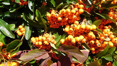 Autumn Stock (claire artistandpoet Stroke Survivor) Tags: autumn berries stock