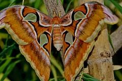 Atlas moth / Attacus atlas / Atlasspinner (Aperture111-Thanks for 2 million+ views) Tags: nature macro sonyalpha65 sigma105mm butterfly atlasmoth atlasspinner attacusatlas