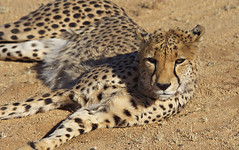 Cheetah close-up (nisudapi) Tags: 2018 africa namibia namibnaukluft cheetah carnivore solitaire wildlife bigcat conservation