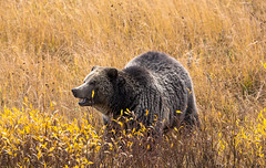 The fall look (ChicagoBob46) Tags: grizz grizzly grizzlybear bear yellowstone yellowstonenationalpark sow nature wildlife coth5 naturethroughthelens ngc npc