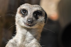 Selfie (JerryGoulet) Tags: selfie meerkat animals zoo paradisewildlifepark sigma zoom mammals rocks naturereserve park fur coat hairs conservationism colors contemporary conservancy conservation closeup contrast portrait smile eyes artcityartists sigma150600 summer exposure expression excellence colours volunteer british nikon nikonflickraward nature angle atmosphere aperture d500 depthoffield faces greatbritain highiso wildlife england telephoto young unitedkingdom uk infinitexposure individuality