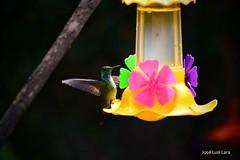 Pájaros de Misiones (Picaflor dorado) (pepelara56) Tags: colibrí hummingbird nikkor nikond5300 macro
