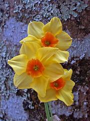 Narcissus & Lichen (Cornishcarolin. Stupid busy!! xx) Tags: cornwall httpswwwnationaltrustorguktrelissick nature flowers lichen narcissus