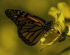 MonarchButterfly_SAF9830-2 (sara97) Tags: danausplexippus butterfly copyright©2018saraannefinke insect missouri monarch monarchbutterfly nature photobysaraannefinke pollinator saintlouis towergrovepark urbanpark