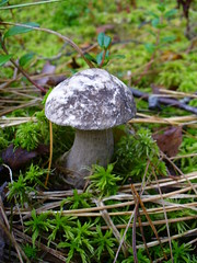 Mushroom / Черноголовик (Andrey Rudnev) Tags: panasonicdmclz2 panasonic dmclz2 panasoniclumix mushroom forest autumn nature ccd природа гриб черноголовик лес осень