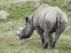 Watch you're eye. (Simply Sharon !) Tags: rhino blackrhino savetherhino animal yorkshirewildlifepark