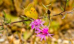 7K8A7565 (rpealit) Tags: scenery wildlife nature weldon brook management area orange sulphur butterfly