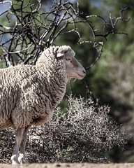 A Sheepish Stare (Arranion) Tags: stare nature canon 5d karoo farm sheepish sheepy wool tree ficus muted eyes eye mammal