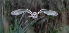 Barn Owl (Steve D'Cruze) Tags: barn owl tyto alba nikon d500 sigma 150600mm high iso